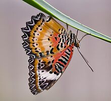 Leopard Lacewing by Krys Bailey