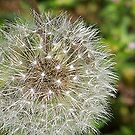 Dandelion Dazzle by Glenna Walker