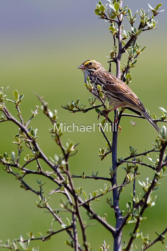 Savannah Sparrow by Michael Mill