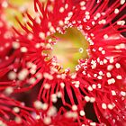 Red Gum Blossom by Leanne Davis