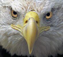 American bald eagle by Mundy Hackett