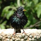 Wet Starling by Catherine Brock