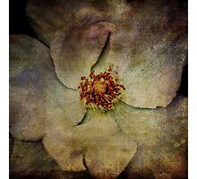 White Tea Rose Photographic Print