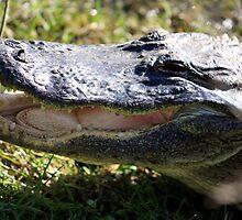 Wild Gator by ddancernc