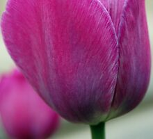 Pink Tulip by Laura McDonald