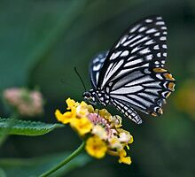 """Not-so-""Common Mime Butterfly by Krys Bailey"