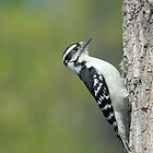 Downy Woodpecker by okcandids