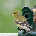 (Female) American Goldfinch by okcandids
