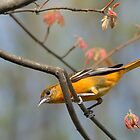 (Female) Baltimore Oriole by okcandids