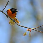 (Male) Baltimore Oriole by okcandids