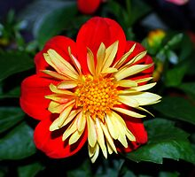 Red, Yellow & Green Bloom by buddykfa