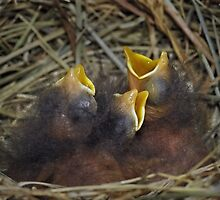 Baby bluebirds by Mundy Hackett