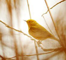 Yellow Warbler - Marsh Grass by Ryan Houston