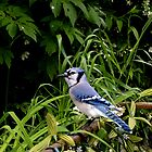 blue jay by melynda blosser