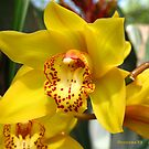 yellow cymbidium orchid by foozma73