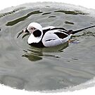 Long Tailed Duck by Malcolm Chant