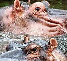 ANIMAL KINGDOM - HIPOPOTAMUS- AMPHIBIUS   by Magaret Meintjes
