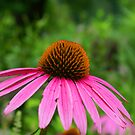 Cone Flower by Lisa Miller
