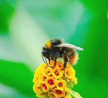 Buff-Tailed Bumble Bee by Stephen Walton