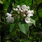 Smoky Mountain Laurel by Phyllis Wilson