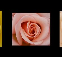 Roses collection # 1 by Jeffrey  Sinnock