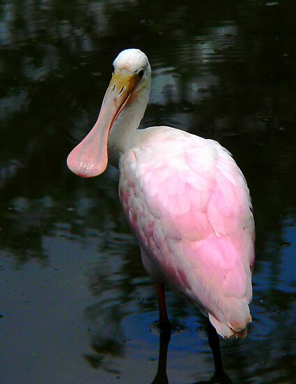 Roseate Spoonbill  142 Views by Rosalie Scanlon