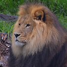 Jungle King by KeepsakesPhotography Michael Rowley
