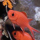 Whitetip Soldierfish, Osprey Reef, Coral Sea by Erik Schlogl