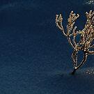 6.1.2015: Calluna Vulgaris at Winter by Petri Volanen
