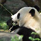 Panda Eating Bamboo by Christian Eccleston
