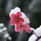 Snowflower by Nancy Aldrich