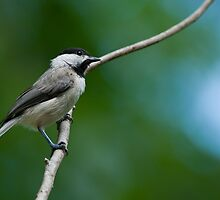 Carolina Chickadee by Bonnie T.  Barry