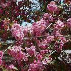 crabapple blooms by Roslyn Lunetta