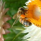 bee on helychrysum by kateN