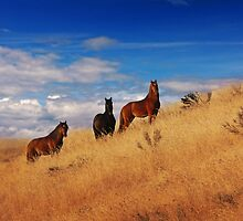 Brumbies by Raquel O'Neill