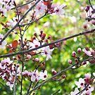 Prunus by Catherine Davis