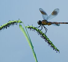 Dragonfly on Grass Seed by Bonnie T.  Barry
