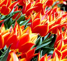 Colorful tulips by emadrazo