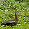 Black-bellied whistling duck by Bonnie T.  Barry