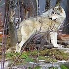 Timber Wolf on the Alert by vette
