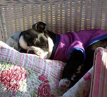 Sleeping Baby Boston Terrier by kgsjudkins