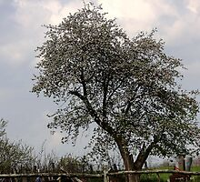 Spring on the Old Apple Tree by denise romano