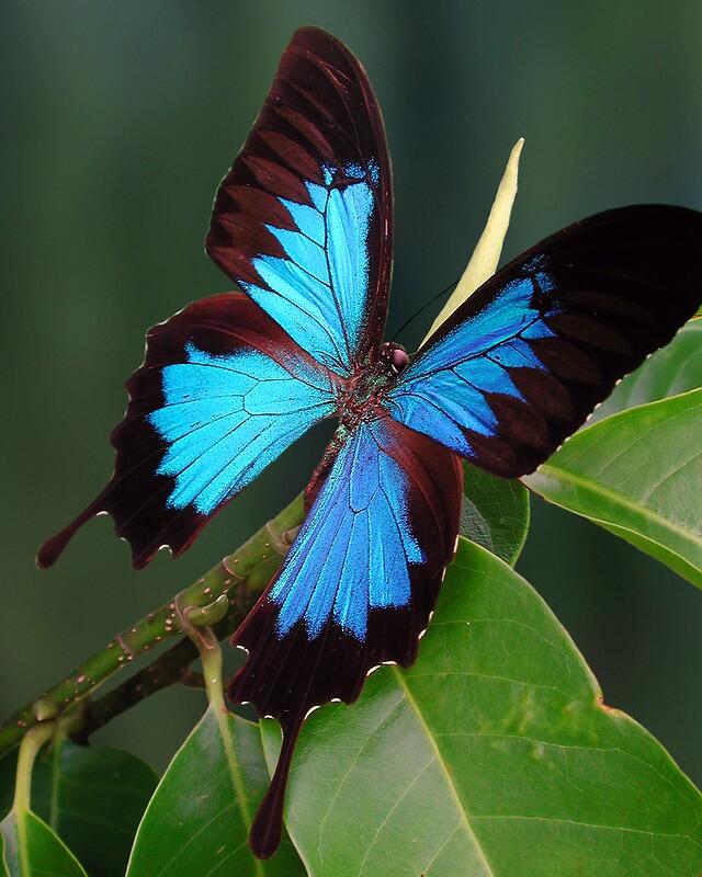 "Ulysses Butterfly ""Ulysses Butterfl..."