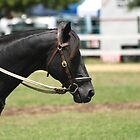 Dressage Horse by flash62au