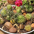 Cactus on display by Maree  Clarkson