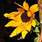 Sunflower1 by MeghanFish