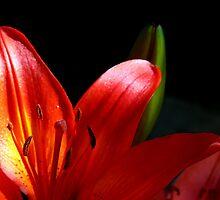 Evening Lily... by LjMaxx