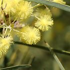 Flinders Ranges Wattle by Leanne Davis