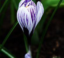 Spring Crocus by Alison Cornford-Matheson