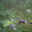 Mallards on the Nidd by TimHatcher